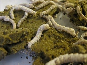 wk2silkworms1